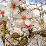 Almond Oil Tree Flowering