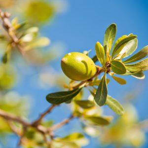 Argan nut on a branch