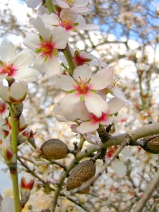 Almond Oil Tree Flowering
